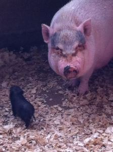 Pigs at Oaklawn Farm Zoo